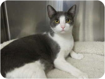 Domestic Shorthair Cat for adoption in Modesto, California - Oliver