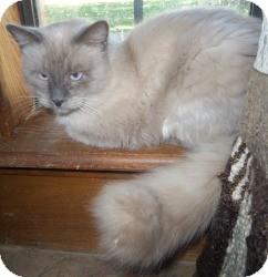 Ragdoll Cat for adoption in Ennis, Texas - Brave