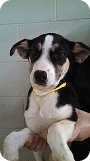 Husky/Bernese Mountain Dog Mix Puppy for adoption in Oviedo, Florida - Calvin