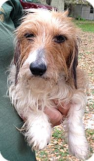 Dachshund Dog for adoption in Gainesville, Florida - Mia
