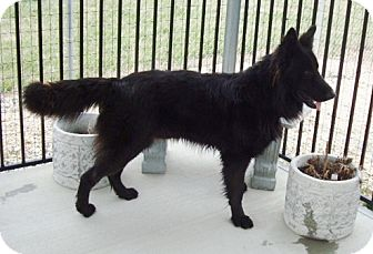 German Shepherd Dog Dog for adoption in Nashville, Tennessee - Phoenix