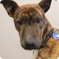 Catahoula Leopard Dog/Carolina Dog Mix Dog for adoption in Pflugerville, Texas - Parker