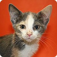 Adopt A Pet :: EDITH - SILVER SPRING, MD