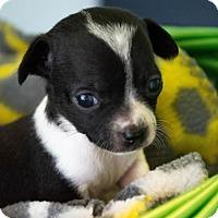 Adopt A Pet :: Dottie's Puppy 3 Leia - $250 - Seneca, SC