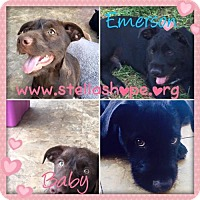 Labrador Retriever Mix Dog for adoption in Costa Mesa, California - Emerson & Baby