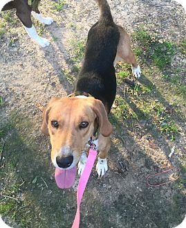 Foxhound Mix Dog for adoption in Texarkana, Texas - Foxy