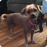 Chinese Crested Puppy for adoption in Jacksonville, Florida - Daisy