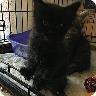 Domestic Shorthair Kitten for adoption in Phillipsburg, New Jersey - Dolan
