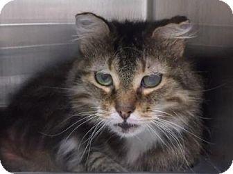 Domestic Longhair Cat for adoption in Gloucester, Virginia - PRECIOUS