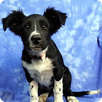 Adopt A Pet :: BOOTSY - Westminster, CO