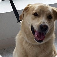 Labrador Retriever Mix Dog for adoption in Deer Park, New York - Mr. Wiggles