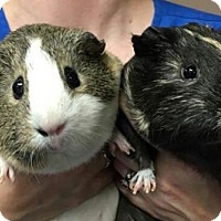Guinea Pig for adoption in Baton Rouge, Louisiana - Felicity & Moe
