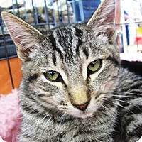 Domestic Shorthair Cat for adoption in Castro Valley, California - Andy