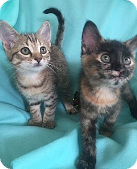 Domestic Shorthair Kitten for adoption in Bloomsburg, Pennsylvania - Lisa's Kittens