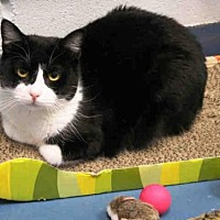 Domestic Mediumhair Cat for adoption in Hampton Bays, New York - NAOMI