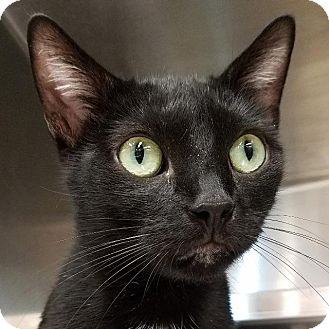Domestic Shorthair Cat for adoption in New York, New York - Jill
