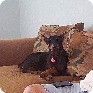 Doberman Pinscher Dog for adoption in Fort Worth, Texas - Greta