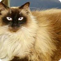 Adopt A Pet :: George (Burmese) - Baton Rouge, LA