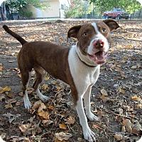 Adopt A Pet :: Little Red - Huntsville, AL