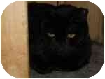 Domestic Shorthair Cat for adoption in North Boston, New York - Midnight