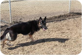 German Shepherd Dog Dog for adoption in Tully, New York - ELSA