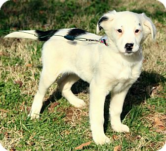 Australian Shepherd/English Setter Mix Puppy for adoption in Spring Valley, New York - Lilly