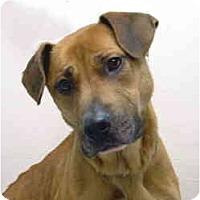 Adopt A Pet :: Scarlet - Port Washington, NY