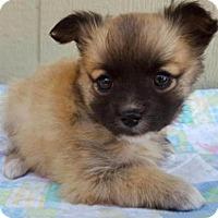 Adopt A Pet :: Este - Manhattan, NY