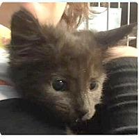 Adopt A Pet :: Felix - Springdale, AR