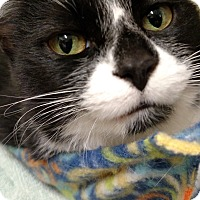 Domestic Mediumhair Cat for adoption in Ypsilanti, Michigan - Izzy