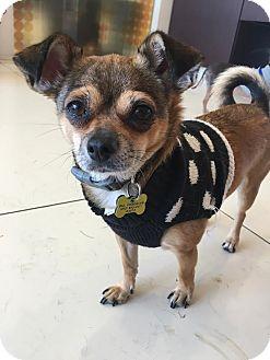 Chihuahua/Shih Tzu Mix Dog for adoption in Beverly Hills, California - CARA