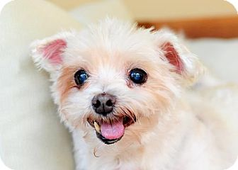 Maltese Dog for adoption in Fort Lauderdale, Florida - Ruffi
