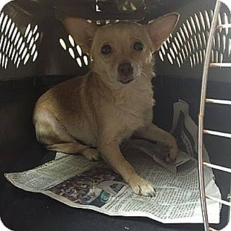 Chihuahua Mix Dog for adoption in Washington, D.C. - Ronny ($200 adoption fee)