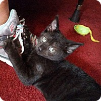 Adopt A Pet :: Beast - Cincinnati, OH
