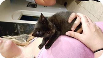 Domestic Shorthair Kitten for adoption in San Tan Valley, Arizona - Natasha
