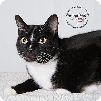 Domestic Shorthair Cat for adoption in Apache Junction, Arizona - Jingle