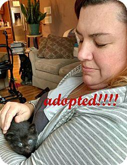 Burmese Kitten for adoption in Rochester Hills, Michigan - Ripley