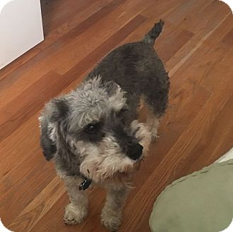 Miniature Schnauzer Dog for adoption in Sharonville, Ohio - Rudy & Ava
