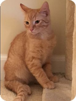 Domestic Shorthair Kitten for adoption in New Albany, Ohio - Alexander