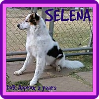 Adopt A Pet :: SELENA - Middletown, CT