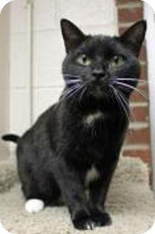 Domestic Shorthair Cat for adoption in Euclid, Ohio - Maxine