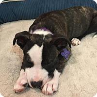 Adopt A Pet :: Duffy - Richmond, CA