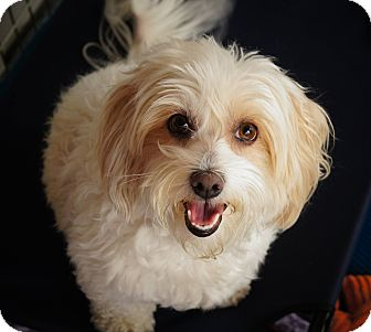 bichon frise maltese mix diamond 3 adopted dog los alamitos ca bichon frise 6574