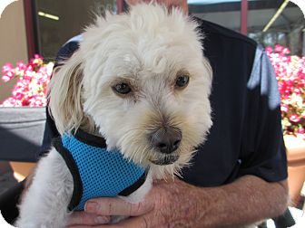 Maltese/Lhasa Apso Mix Dog for adoption in Ft. Bragg, California - Lambert