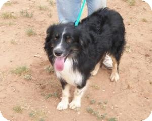 Australian Shepherd/Border Collie Mix Dog for adoption in Post, Texas - Cutter