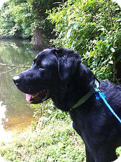 Labrador Retriever Mix Dog for adoption in Plainfield, Connecticut - ADOPT ME!!-KC