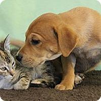 Adopt A Pet :: *Destiny - PENDING - Westport, CT