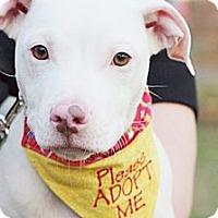Adopt A Pet :: Stella - Reisterstown, MD