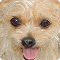 Adopt A Pet :: Tiny Tootsie - La Habra Heights, CA