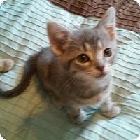Adopt A Pet :: Pippa - Fairborn, OH